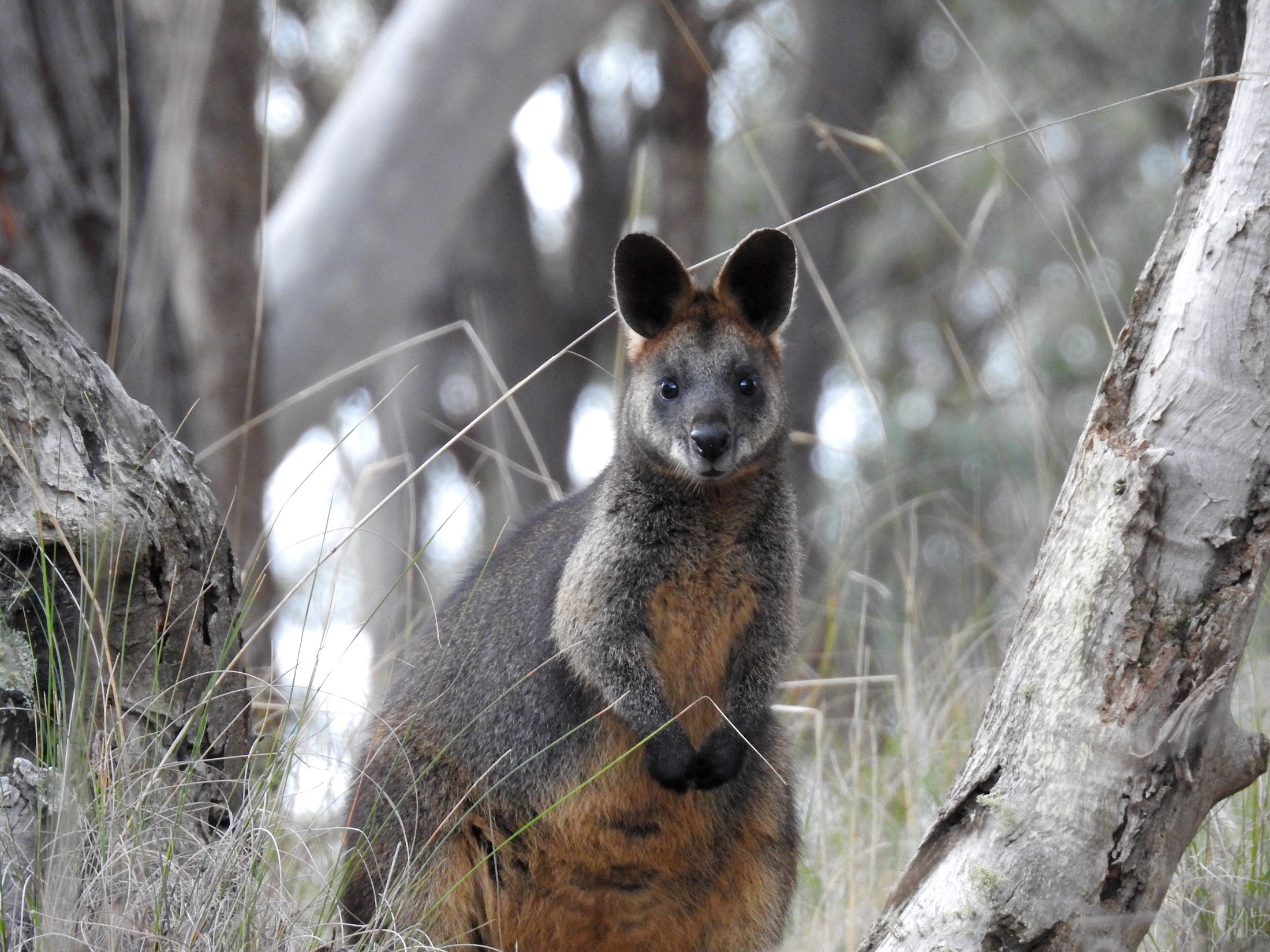 10_wallaby