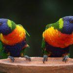 rainbow-lorikeet-686100_640