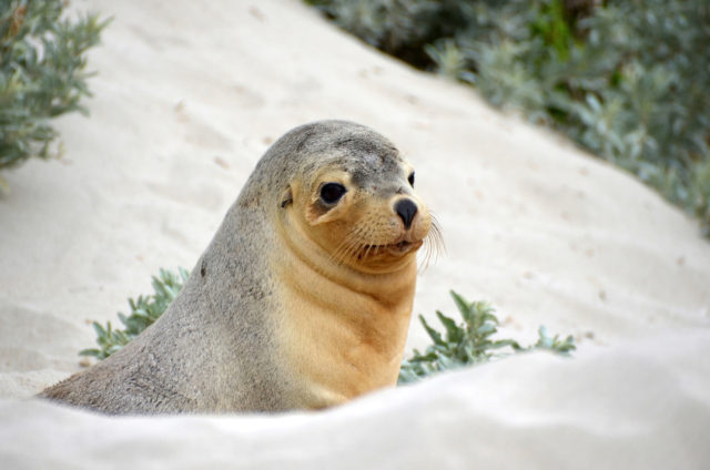 Seal in the sand dunes of Seal Bay, Kangaroo Island, South Australia.