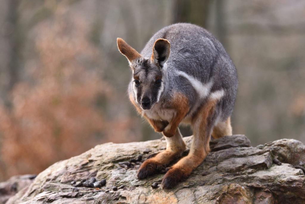 Wallaby delle rocce