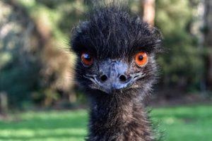 emu-4356450_1280